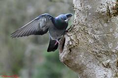 Pigeon biset Columba livia (Ezzo33) Tags: france gironde nouvelleaquitaine bordeaux ezzo33 nammour ezzat nikon d500 parc jardin oiseau oiseaux bird birds pigeon biset columba livia colombe