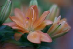 Samyang wide open close focus test 85mm 1.4 2 (M42Junkie) Tags: samyang85mm14 pentaxk1 orange flower flowers fullframe winter macro macrotubes bokeh green red sanantonio texas