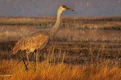 Sandhill crane (Eric Gofreed) Tags: basquedelapache crane gruscanadensis newmexico sandhillcrane