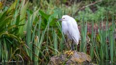 Snowy Egret (Bob Gunderson) Tags: birds botanicalgardens california egrets egrettathula goldengatepark northerncalifornia sanfrancisco snowyegret wadingbirds