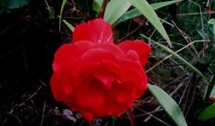Аленький цветочек (lvv1937) Tags: sunsetslandscapesandflowers photosforthecreationofbeautyaroundtheworld photography pbwaphotographybywanderingabout flickr every day flickrclickx роза цветок