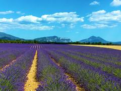 P1120938 (alainazer) Tags: valensole provence france fiori fleurs flowers fields champs colori colors couleurs ciel cielo sky lavande lavanda lavender