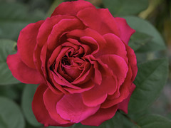 Red, Red Rose (armct) Tags: rose standard garden red opening warmth unfold unravel beauty goldcoast queensland domestic home flower cultivar