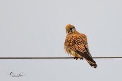 Faucon crécerelle, Common Kestrel (denis.loyaux) Tags: denisloyaux france nikon ariège mazères des denis oiseaux domaine loyaux iii tc f4 vr afs 14e 600mm d850 fauconcrécerelle falcotinnunculus falconidés falconiformes commonkestrel