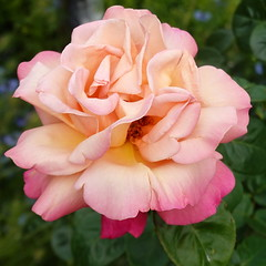 Nothing in life is to be feared, it is only to be understood. Now is the time to understand more, so that we may fear less.  (Marie Curie) (boeckli (on vacation)) Tags: fletcherjonesgarden roses warrnambool 019892 rosen rose blumen blume blüten blossom bloom blossoms blooms nature natur garden garten plants pflanzen plant pflanze victoria australia