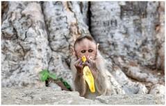 """Cuteness is pure innocence of a soul."" (Ramalakshmi Rajan) Tags: nikon nikkor24120mm nikond750 monkey animals animal bangalore"