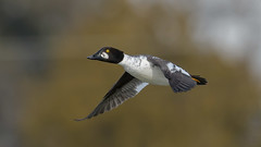 Common Goldeneye (F) 7943 (Paul McGoveran) Tags: bif bird birdinflight commongoldeneye duck nature nikon500mmf4 nikond850 norfolkcounty portdover wings lake erie