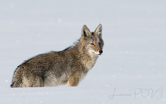 the HUNTER (laura's Point of View) Tags: coyote animal wildlife winter snow cold hunter gtnp grandtetonnationalpark jacksonhole wyoming west western lauraspointofview lauraspov