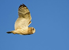 Short Eared Owl (Alan McCluskie) Tags: owls shortearedowl seo birdinflight birdofprey asioflammeus canon7dmk2 sigma150600mmsp