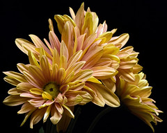 Floral Fortitude 1103 (Tjerger) Tags: nature black blackbackground bloom blooming blooms closeup fall flora floral flower flowers green macro mum orange pink plant portrait wisconsin yellow mums fortitude natural daisy daisies beautiful beauty group bunch wisconisn