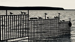 Warmer than the water (halifaxlight) Tags: chile patagonia puntaarenas sea fence birds perched sitting bw mono