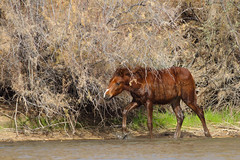 Salt River Wild Horse #2 (fourhundredyears) Tags: salt river az wild horse