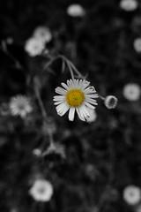 Bellis perennis aka Daisy (mike_handoko) Tags: nature yellow bush wildlife selectivecolor morning rain dew flower newzealand rotorua commondaisy