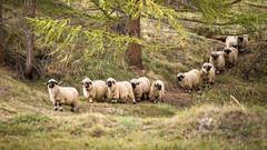 Valais Blacknose (Mopple Labalaine) Tags: zermatt wallis switzerland walliser schwarznasenschaf sheep valaisblacknose flock mountain