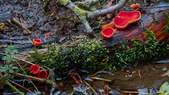Scarlet Elf cups (hedgehoggarden1) Tags: scarletelfcup fungi mycology nature fungus mushrooms sonycybershot titchwell norfolk eastanglia uk sony