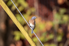 Eastern bluebird (DFChurch) Tags: princeton wv westvirginia eastern bluebird nature animal wild backyard birdhouse sialiasialis thrush