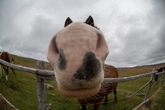 So good looking ... (vanessa violet) Tags: vanessaviolet hff happyfencefriday fence bonavista sogoodlooking thekooks horse nose communitypasture lips fisheye whiskers