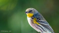 Yellow-rumped Warbler  (Audubon's) (Bob Gunderson) Tags: birds california missiondistrict northerncalifornia sanfrancisco setophagacoronata warblers woodwarblers yellowrumpedwarbler