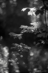 Autumn light (ShimmeringGrains) Tags: sunny16 halfframe scannad zuikoforpenf bw monochrome olympuspenf kodakhc110b 135film filmphotography filmhalfframe zuiko702 zuikoprimelens olympuspen polypanf ©marieahlén halvformat svartvitt film blackandwhite kodakhc110 scanned polypanf50iso analog shimmeringgrains