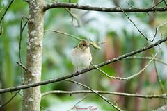 Mme Pinson des Arbres (Ezzo33) Tags: france gironde nouvelleaquitaine bordeaux ezzo33 nammour ezzat sony rx10m3 parc jardin oiseau oiseaux bird birds pinsonsdesarbres femelle « chaffinches »