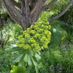 San Francisco, CA, Noe Valley, Plant Medley (Mary Warren 14.7+ Million Views) Tags: sanfranciscoca noevalley nature flora plant green leaves foliage tree yellow blooms blossoms flowers