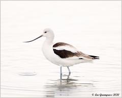 Winter Plumage (pandatub) Tags: bird birds shorebird avocet americanavocet baylands paloalto