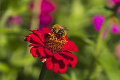 Alto Adige Italia Nature Outdoor sunny day 17092019 635''# (Dirk Buse) Tags: südtirol italien italia trentinoaltoadige blüte farbe rot biene insekt flora fauna mft m43 mu43