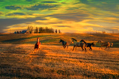 Open Range (TicKavich) Tags: horses farm rural field light shadows sunset pines barn landscape trees sky pasture animals equine