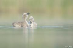 Swan chicks (mirosławkról) Tags: wild wildlife animal bird poland nature nikonnaturephotography 150600 swan łabędź cygnusolor ornithology pond water drop chick