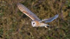 Barn Owl (KHR Images) Tags: barnowl barn owl tytoalba cambridgeshire fens birdofprey hunting flying daytime sunshine wildlife nature nikon d500 kevinrobson khrimages