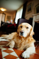 Golden retriever portrait (shixart1985) Tags: dog golden retriever pet animal canine cute portrait puppy sit fur one adorable young alone casual friendship gold lay yellow beautiful home house living room eye looking