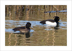 Tufted Ducks (prendergasttony) Tags: tonyprendergast nikon d7200 elements water nature lancashire bird birdwatching birding border