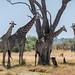 Giraffen / Giraffes