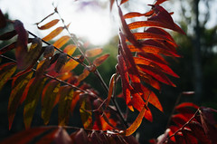 Oak Cliff Nature Preserve (Zack Huggins) Tags: ricohgrii vscofilm pack01 dallastx oakclifftx oakcliffnaturepreserve fall autumn leaves plant flora nature bokeh dof flare lensflare rnifilms pointandshoot compact digitalcompact advancedcompact raw wideangle red woods forest