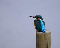 Kingfisher (shinichiro*@Hokkaido-until0217) Tags: 町田市 東京都 日本 20200112ds21988 2020 crazyshin nikonz6 z6 ftz sigma150600mmf563dgoshsmcontemporary january winter tokyo japan jp 薬師池公園 bird birds sspriority isoauto 49469741563 9703526 202002esp