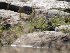 grielen (watergriel) (Eric Rincker Fotografie) Tags: bird vogel birds vogels nature natuur sony sonyrx sonyrx10 sonyrx10m4 naturephotographt natuurfotografie