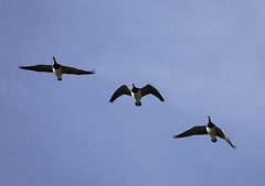 eenden (canadese gans) (Eric Rincker Fotografie) Tags: bird vogel birds vogels nature natuur sony sonyrx sonyrx10 sonyrx10m4 naturephotographt natuurfotografie