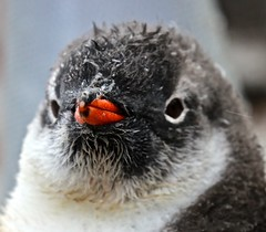 173A3056 Face of a Gentoo Chick (margo2x) Tags: portlockroy antarctica penguin chick gentoo face wildlife expedition