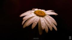 alameda_003_2020 (Alameda dos Canários) Tags: flower nature petal closeup daisy freshness fragility beauty plant growth outdoors white pollen dark fineart