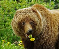 "Smile on Saturday! - ""BONNIE BEARS"" (cbrozek21) Tags: grizzlybear ursushorribilis canada bear animal portrait smileonsaturday bonniebears mammal eating"