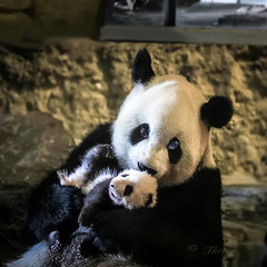 160813 PmbP 200201 © Théthi (thethi: pls read my first comment, tks) Tags: bonniebears smileonsaturday ours panda mere bebe parc chine pairidaiza brugelette hainaut wallonie belgique belgium c4 6287628