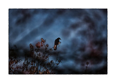 secrets of the night (Armin Fuchs) Tags: arminfuchs lavillelaplusdangereuse crow trees light blue animal bird winter november clouds night
