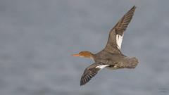 Red-breasted  Merganser (F) 8264 (Paul McGoveran) Tags: bif bird birdinflight duck lakeerie nature nikon500mmf4 nikond850 norfolkcounty portdover redbreastedmerganser wings