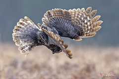 Diving for dinner (Thy Photography) Tags: greatgrayowl greatgreyowl raptor raptors bird backyard birdofprey birds california fullframe fe600mmf4gmoss animal avian animals sunrise sunset sunshine sanfranciscobayarea sonya9 sonya7rm4 sonya9ii outdoor photography prey nature owl dawn dusk depthoffield flowers