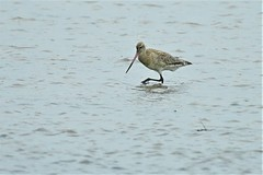 Bar-tailed Godwit (James_Preece) Tags: bartailedgodwit scolopacidae limosalapponica