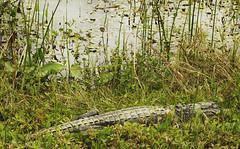Alligator Landscape. (Paisaje Caimán). (Samuel Santiago) Tags: orlandowetlandspark christmas florida wetland walldecor photography fujifilmxt1 tamronsp3580mmspadaptall sammysantiago samuelsantiago fineart alligator