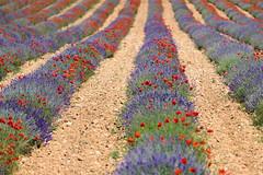 P1110814 (alainazer) Tags: simianelarotonde provence france fiori fleurs flowers fields champs colori colors couleurs coquelicot poppy papavero lavande lavanda lavender