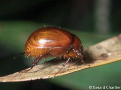 Chafer (Melolonthinae)