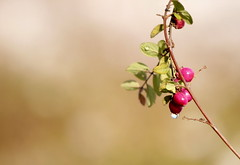 Welcome February! :o) (Ibolya Mester) Tags: hungary magyarország natur nature outdoor closeup macro color colors berries droplet canon canoneos600d symphoricarposchenaultii kislevelűhóbogyó
