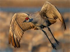 Sandhill Crane (Eric Gofreed) Tags: basquedelapache crane gruscanadensis newmexico sandhillcrane ngc